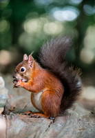 Red Squirrel, Brownsea Island