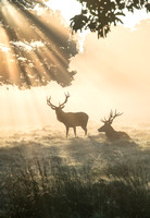Couple of stags in Richmond Park